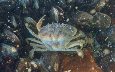 Investigation of Microparasite Diversity in Crustaceans
