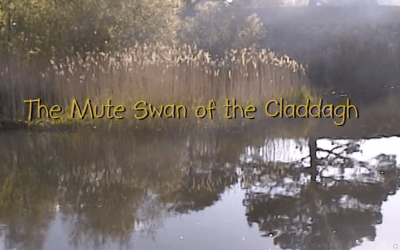 Mute Swan of Claddagh 2004